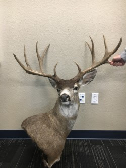 Poached deer with trophy-sized antlers. December 2017.